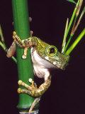 Big Eye Tree Frog  Native to Tanzania
