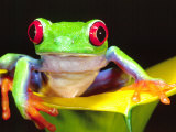 Red Eye Tree Frog on a Calla Lily  Native to Central America