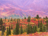 Fall Color in Denali National Park  Mt Denali  Alaska  USA