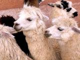 Close-up of Llamas  Cuzco  Peru