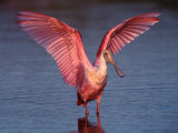 Roseate Spoonbill with Wings Spread  Everglades National Park  Florida  USA
