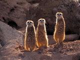 Meerkats in the Phoenix Zoo  Arizona  USA