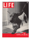 Dachsund Rudy Trotting Across Doorway in his Mexico City Home  September 23  1946