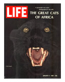 The Great Cats of Africa  Black Leopard  January 6  1967
