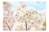 Japanese Cherry Blossom  Sakura II