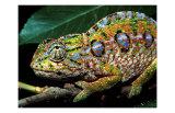 Chameleon  Madagascar