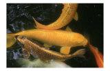 Golden Japanese Koi Fish