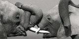 Eléphant africain Reproduction d'art par Jean-Michel Labat