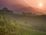 Tea Plantations  Munnar  Western Ghats  Kerala  India