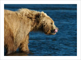 Kodiak Bear Lick