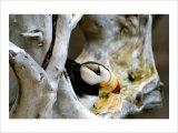 Alaska Puffin Hideout