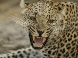 Female Leopard  Panthera Pardus  Snarling  Mombo  Okavango Delta  Botswana