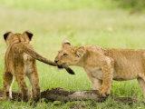 Lion Cubs Playing  Duba  Okavango Delta  Botswana