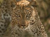 Portrait of a Leopard  Panthera Pardus  Mombo  Okavango Delta  Botswana