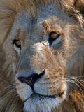 Portrait of a Male African Lion  Panthera Leo  Okavango Delta  Botswana
