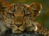 Portrait of a Leopard  Panthera Pardus  Resting  Mombo  Okavango Delta  Botswana