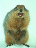 Arctic Ground Squirrel Barring its Teeth  Northwest Territories  Canada