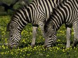 Two Common or Burchell's Zebras Grazing Among Wildflowers  Mombo  Okavango Delta  Botswana
