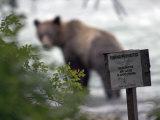 Alaskan Brown Bear Fishing for Salmon  Southeast Alaska