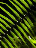 Sun Pattern on Tropical Jungle Leaf  Punta De Sal Island  Honduras