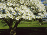 Blossoming Dogwood Tree and Grazing Horses  Virginia