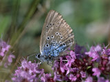 Large Blue  Maculinea Arion  Butterfly Sitting on Pink Flowers  Silvakra  Sweden