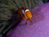 Anemone Fish Near the Stinging Tentacles of a Sea Anemone  Sulawesi  Indonesia