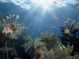 Reef Scenic with Common Lionfish and Other Fish  Crinoids  and Coral  Sulawesi  Indonesia