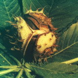 Close-up of a Horse Chestnut Burr About to Open  Lying on a Leaf