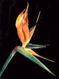 Bloom of a Sterlizia