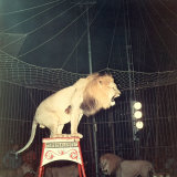 Lion Standing on a Pedestal Inside a Circus Cage Roaring