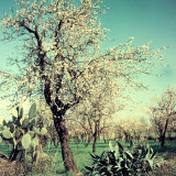 Almond Tree in Bloom  Between an Agave Plant and a Cactus