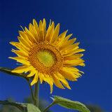 Sunflower  Tuscany  Italy  Europe