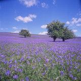 Bluebells  Dartmoor  Devon  England  United Kingdom  Europe