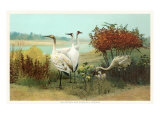 Whooping and Sandhill Cranes