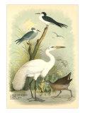 Egret  Terns  Rail