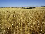Vast Fields of Ripening Wheat  Near Northam  West Australia  Australia  Pacific