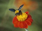 Bumble Bee on a Dahlia  England  United Kingdom  Europe