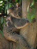 Koala Bear in a Gum Tree  Parndana Wildlife Park  Kangaroo Island  South Australia  Australia