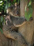 Koala Bear in a Gum Tree, Parndana Wildlife Park, Kangaroo Island, South Australia, Australia Papier Photo par Neale Clarke