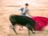 Young Bulls in the Main Square Used as the Plaza De Toros  Chinchon  Comunidad De Madrid  Spain