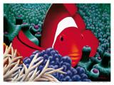 Diva  Tomato Clown Fish
