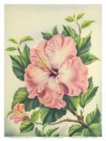 Hawaiian Pink Hibiscus  c1940s