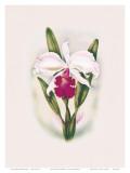 Hawaiian Cattleya Orchid