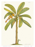Banana Tree  18th Century