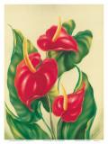 Anthurium II  Red Hawaiian Tropical Flowers