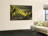 Vineyard  Napa  Napa Valley  California  USA