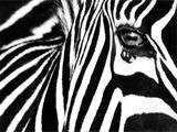 Noir & Blanc II (zèbre) Reproduction d'art par Rocco Sette