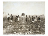 African American Men  Women  and Children  Employed as Cotton Pickers in North Carolina  1900