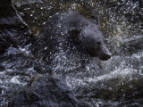 A black bear hunting for salmon in Anan Creek
